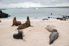 Galapagos seals Stock Photography