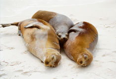 Galapagos seals cuddling Royalty Free Stock Images