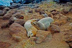 Galapagos seals cuddling Royalty Free Stock Photography
