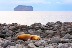 Galapagos-See-Löwe auf felsigem Ufer von Nord-Seymour Island, Galap stockfotografie