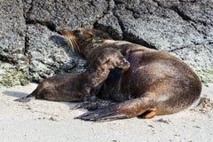 Galapagos-See-Lion Zalophus-wollebaeki Jungssäugling von seiner Mutter auf einem Strand, Genovesa-Insel, Galapagos-Inseln lizenzfreies stockbild