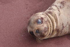 Galapagos-Seelöwe Lizenzfreie Stockfotos