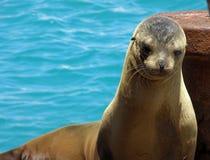 Galapagos-Seelöwe Lizenzfreies Stockbild