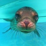 Galapagos-Seelöwe Stockbild
