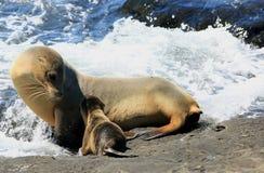 Galapagos-Seelöwen Stockfotos