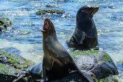 Galapagos-Seelöwen bei Mann setzen, San- Cristobalinsel Ecuador auf den Strand Stockbild