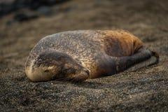Galapagos-Seelöwewelpe, der auf Sand schläft Lizenzfreie Stockfotos