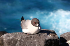 Galapagos-Seemöwe Lizenzfreie Stockfotografie