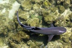 Galapagos Shark Royalty Free Stock Photography