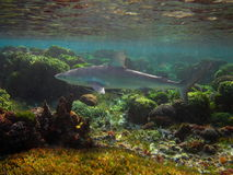 Galapagos shark. (Carcharhinus galapagensis) cruising the reef with a remora on his belly stock photography