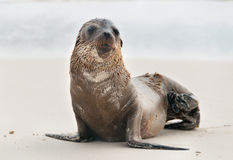 Galapagos single fur seal pup. Royalty Free Stock Images