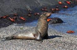 Galapagos sjölejon Arkivbilder