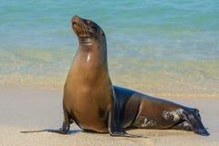 Galapagos sjölejon på den Mann stranden, San Cristobal ö Ecuador arkivbilder