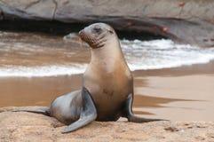 Galapagos sjölejonvarning på stranden Arkivfoto