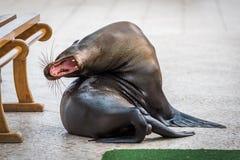 Galapagos sjölejon som gäspar med den öppna munnen Arkivbild