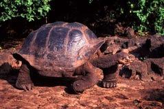 Galapagos sköldpadda Santa Cruz Island Arkivbilder