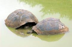 Galapagos sköldpaddor i deras naturliga livsmiljö Fotografering för Bildbyråer