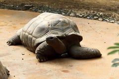galapagos sköldpadda Fotografering för Bildbyråer