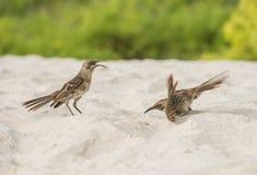 Galapagos-Spottdrosseln Lizenzfreies Stockfoto