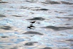 Galapagos-Sturmschwalbe (Galapagos, Ecuador) Stockfotos