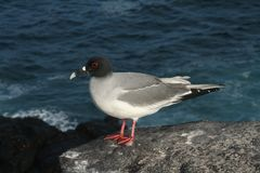 Galapagos swallow-tailed gull on the edge Stock Photos