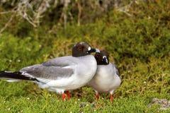 Galapagos Gulls Stock Photos