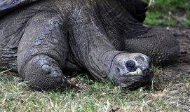 Galapagos Tortoise. (Geochelone nigra). Endangered species Stock Photos
