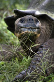 Galapagos Tortoise Royalty Free Stock Photo