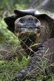 galapagos tortoise Zdjęcie Royalty Free