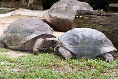 Galapagos Tortoise. A pair of Galapagos tortoises Stock Photo