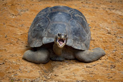Galapagos Tortoise. Giant Galapagos Tortoise with mouth open, facing camera Royalty Free Stock Photo