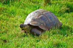 Galapagos Tortoise. A Galapagos Tortoise eating grass royalty free stock photo