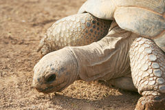 A Galapagos Tortoise Stock Photo