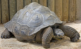 Galapagos tortoise 1. Galapagos tortoise. Latin name - Geochelone nigra Stock Photography