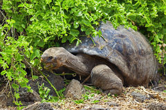 A Galapagos tortoise Royalty Free Stock Photos