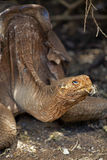 A Galapagos tortoise Royalty Free Stock Photography