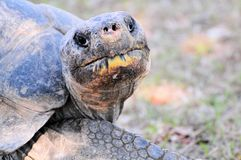 A Galapagos Tortoise. These lumbering giants are the largest species of tortoises in the world and can live up to 150 years.  Photographed in a South Florida Zoo Stock Photography