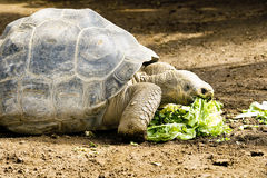 Galapagos tortoise Royalty Free Stock Images