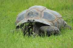 galapagos tortoise Obraz Royalty Free