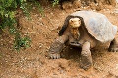 galapagos tortoise Obrazy Stock