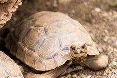 Galapagos Tortoise. Tortoise in the Galapagos Islands in Ecuador stock photography