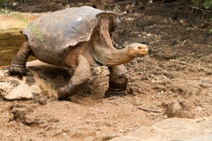 Galapagos Tortoise. Tortoise in the Galapagos Islands in Ecuador Stock Photo