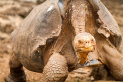 Galapagos Tortoise. Tortoise in the Galapagos Islands in Ecuador stock images