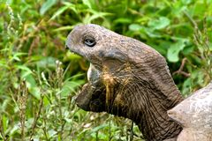 Galapagos tortoise. Side portrait of Galapagos tortoise with open mouth, leafy green background Stock Photography