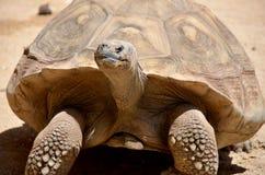 Galapagos tortoise Zdjęcia Royalty Free