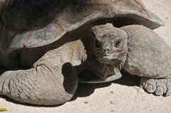 Galapagos tortoise Fotografia Stock