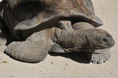 Galapagos tortoise Obraz Stock