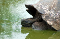 Galapagos Tortoise. Asleep in a favourite wallow Royalty Free Stock Images