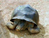 Galapagos Tortoise. Giant Galapagos Islands Tortoise Viewed From Above Stock Images