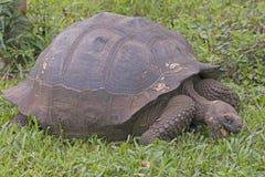 Galapagos Tortoise łasowanie Obraz Royalty Free